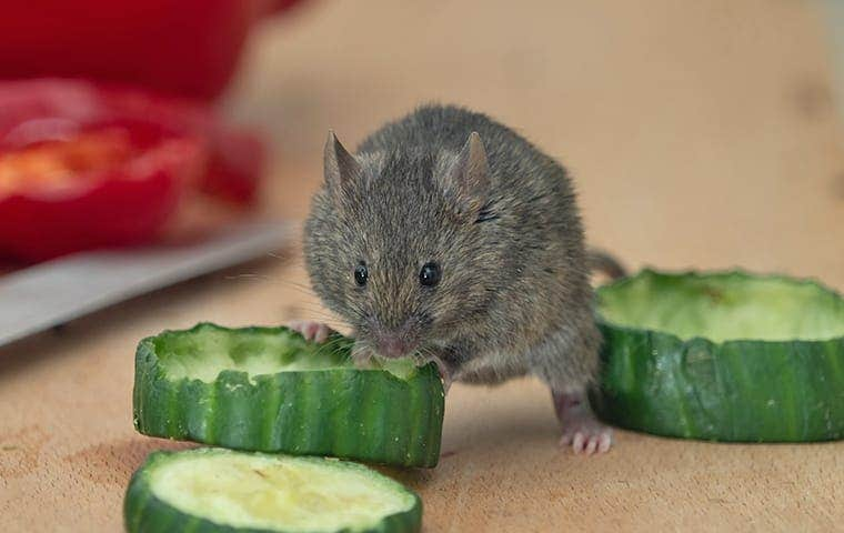 a house mouse crawling on food in a kitchen