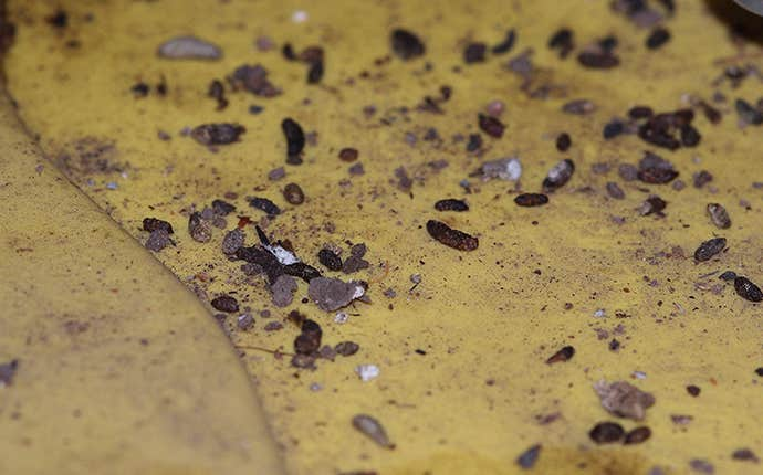 rodent droppings in an attic