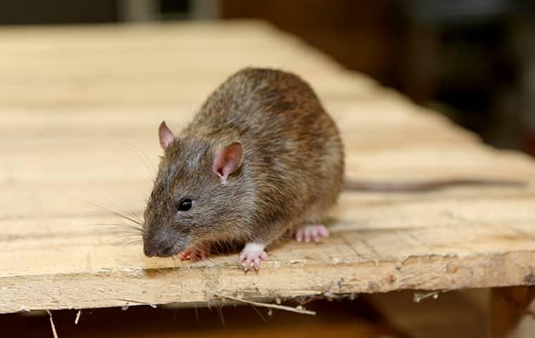 a rat crawling on a workbench
