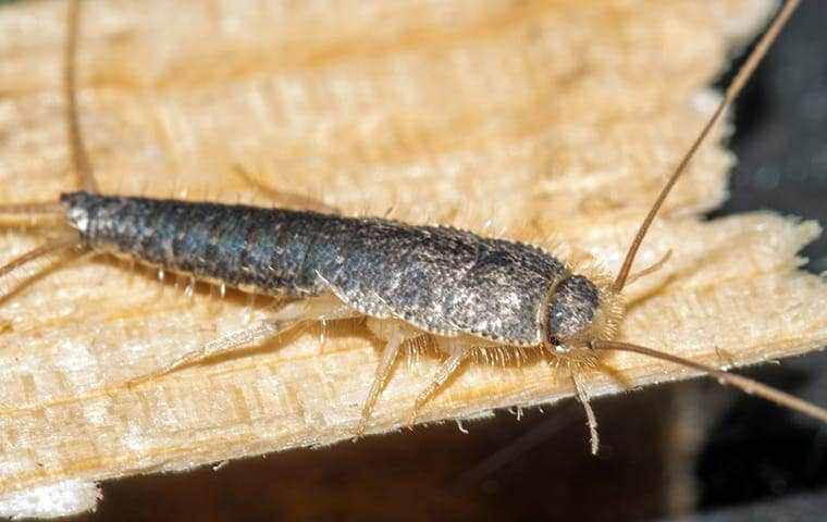 a silverfish crawling in a home in orange county