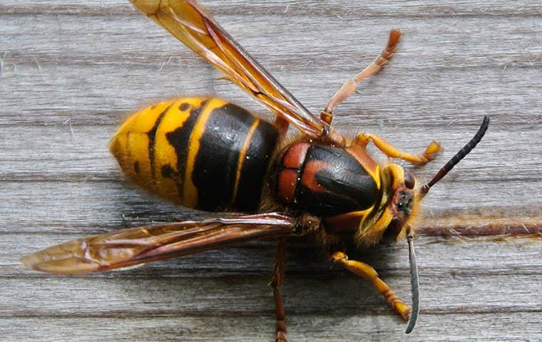 a hornet on a back porch in los angeles