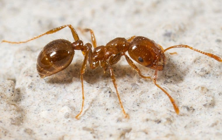 a fire ant in a home in sacramento