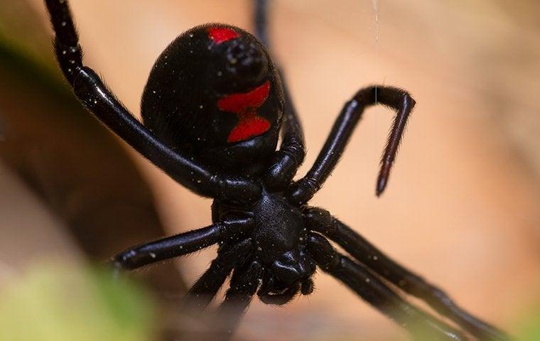 a black widow spider on its web in a sacramento backyard