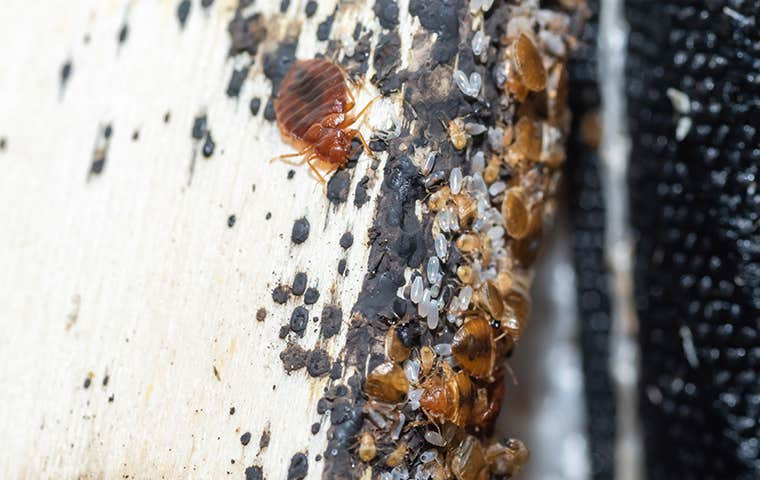 bed bugs and eggs in a sacramento home