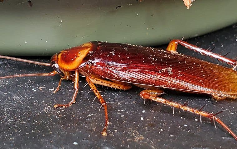 an american cockroach in a home in orange county