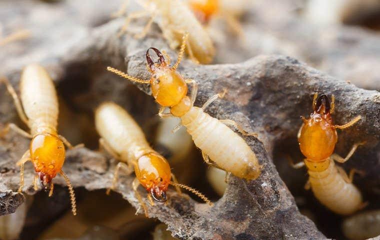 many termites crawling on damaged wood in sacramento