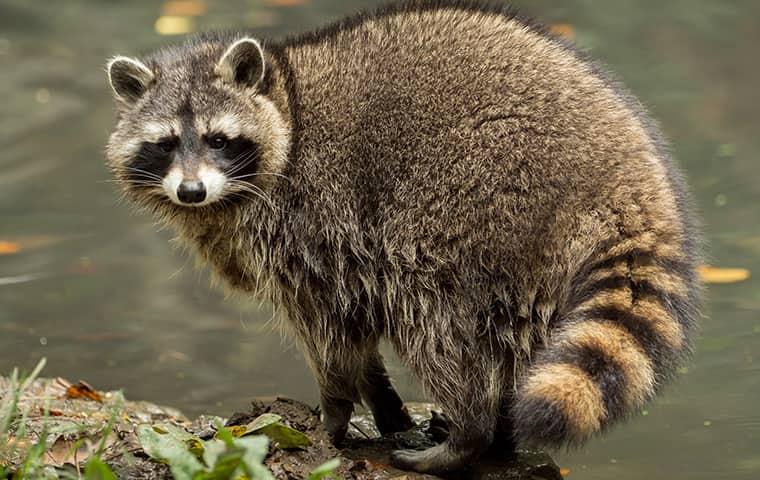 a raccoon in a backyard