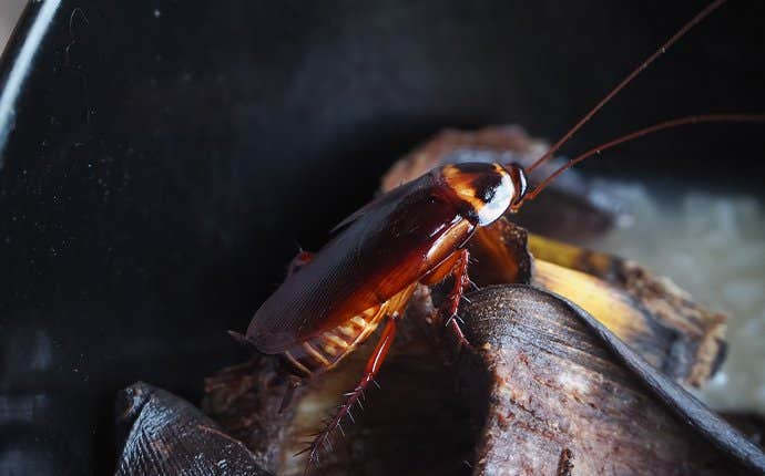 an american cockroach in garbage