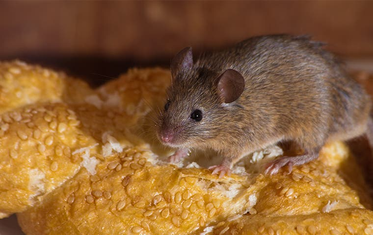 a rat crawling on bread in a los angeles home