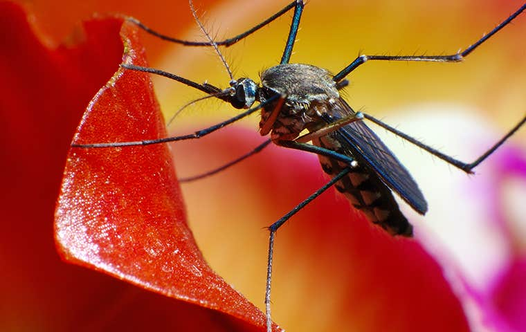 mosquito on a red and yellow flower