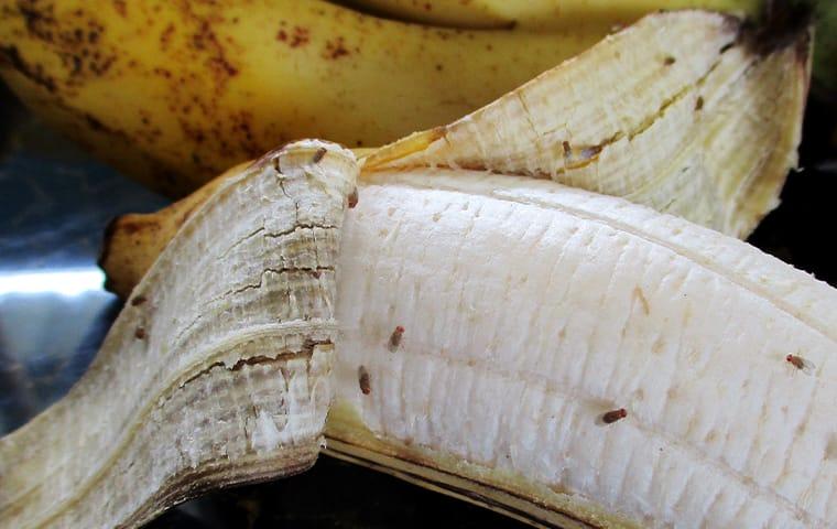 fruit flies clustered on a peeled banana