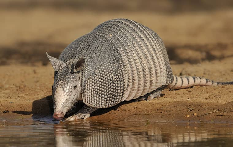 armadillo taking a drink of water