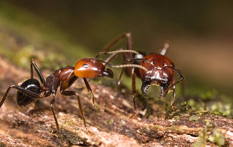 big headed ants fighting