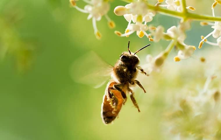 honeybee flying near flowers