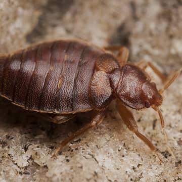 a gross bed bug