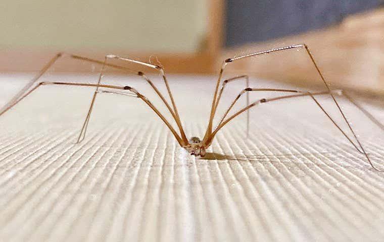 cellar spider in sacramento california