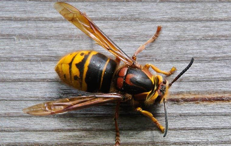 wasp on wood in sacramento california