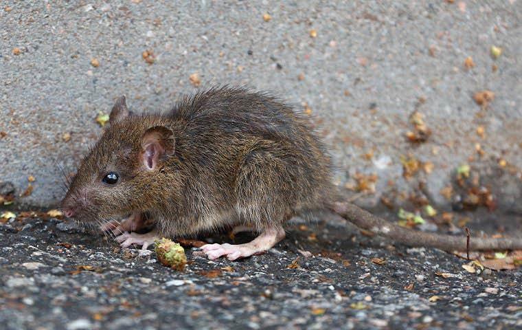 mouse on the ground in sacramento california