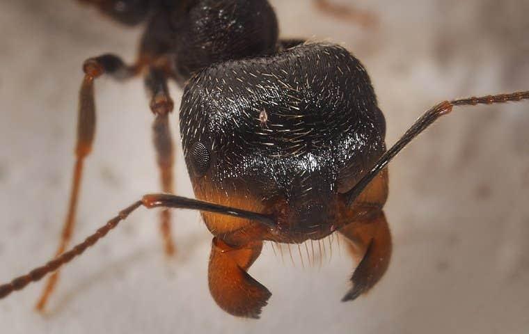 an ant in sacramento california