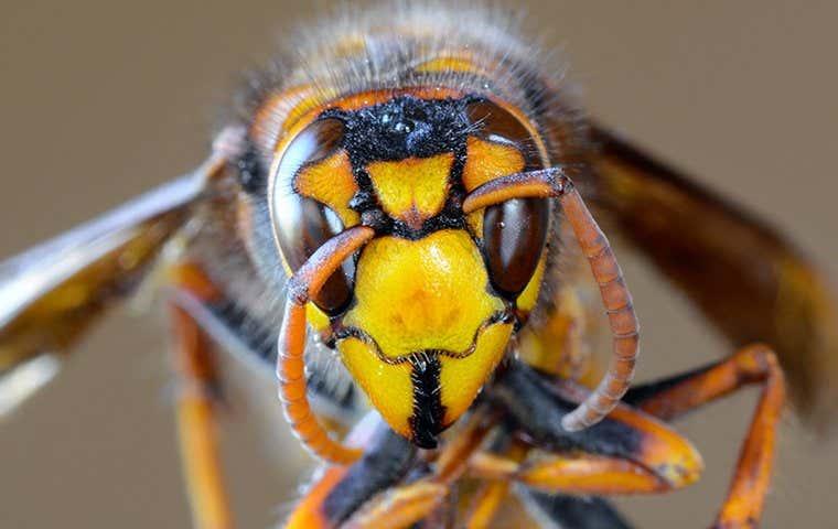 a wasp in sacramento california