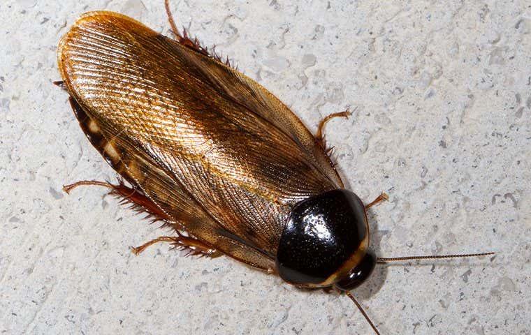 a cockroach in sacramento california
