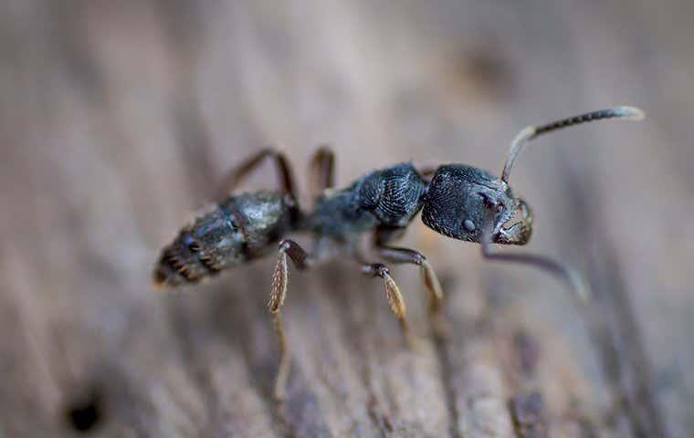 ant on wood in sacramento california