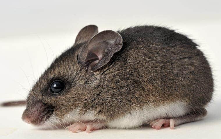 a mouse in sacramento california