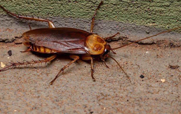cockroach on the ground in sacramento california