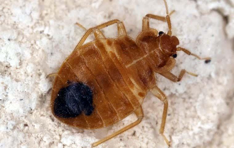 bedbug on gravel in sacramento california