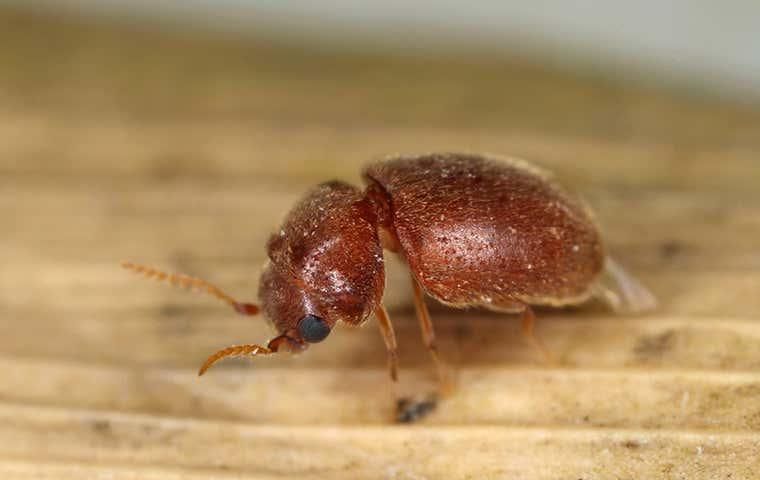 a beetle in sacramento california