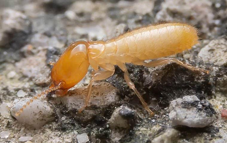 termite in mound in sacramento california