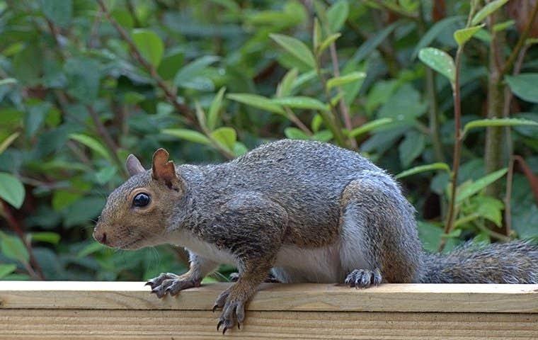 gray squirrel on a porch