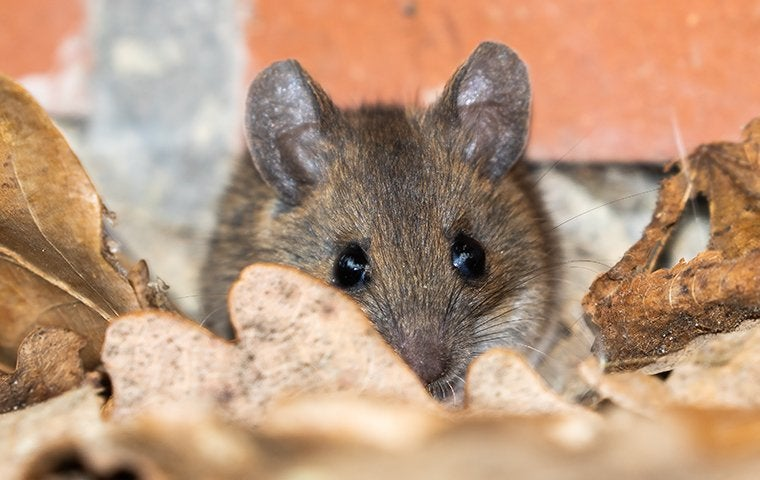 a house mouse in leaves in a yard