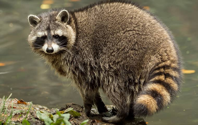 a large raccoon outside a home