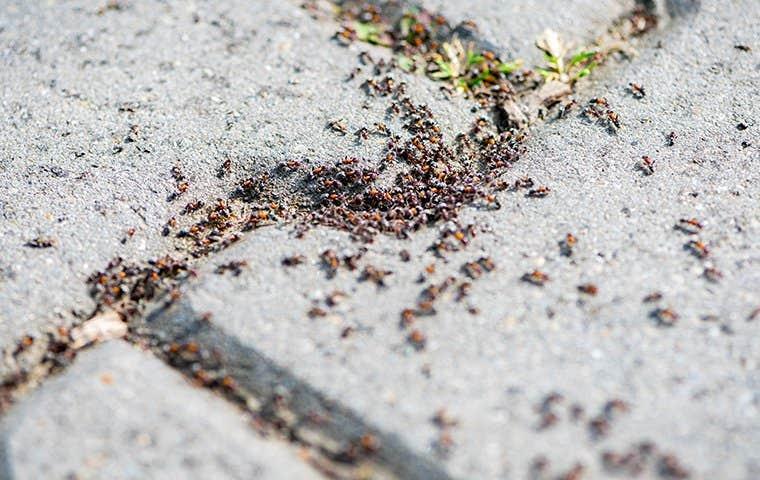 ants on a sidewalk in south florida
