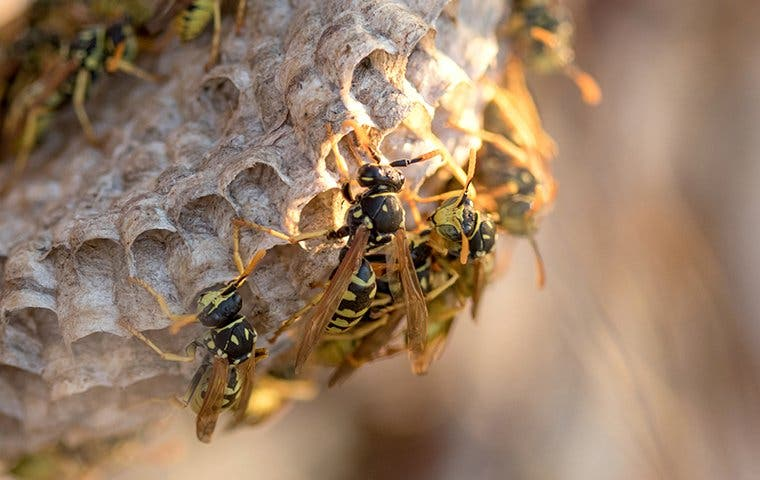 paper wasps crawling on nest