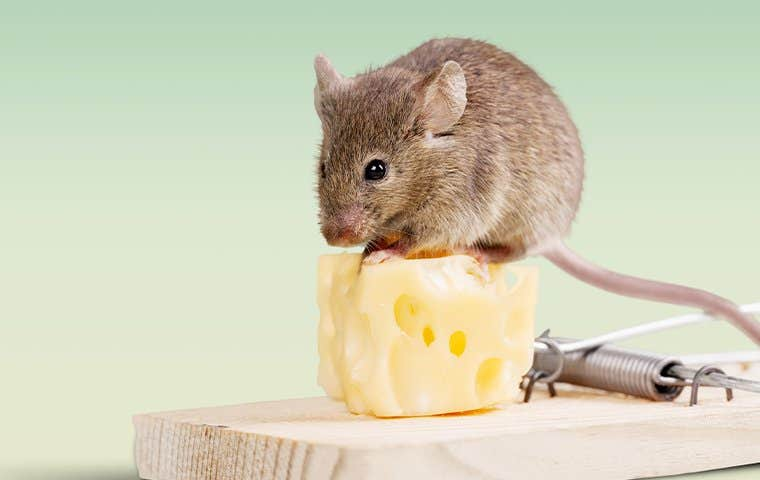 a mouse on cheese in south florida