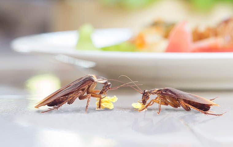 two american cockroaches near a plate of food