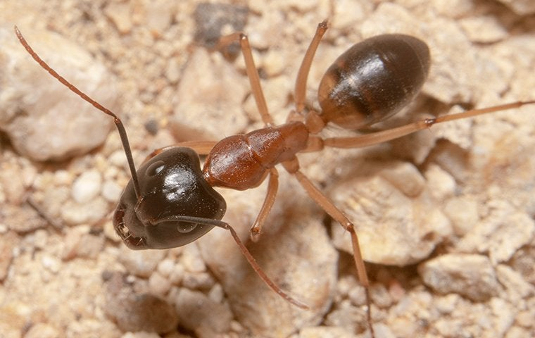 close up view of a sugar ant outside