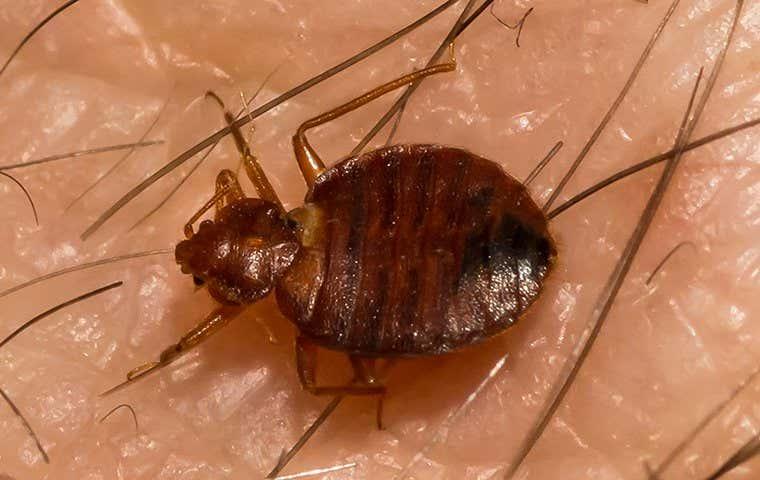 big bed bug on skin