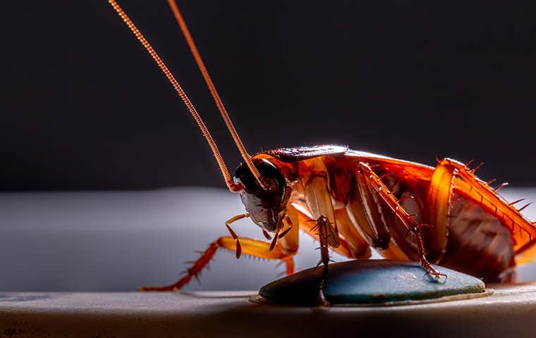close up view of an american cockroach in an oahu home