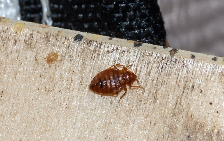 a bed bug crawling in a home