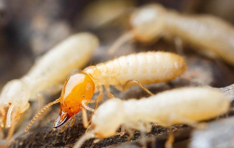 drywood termites on wood