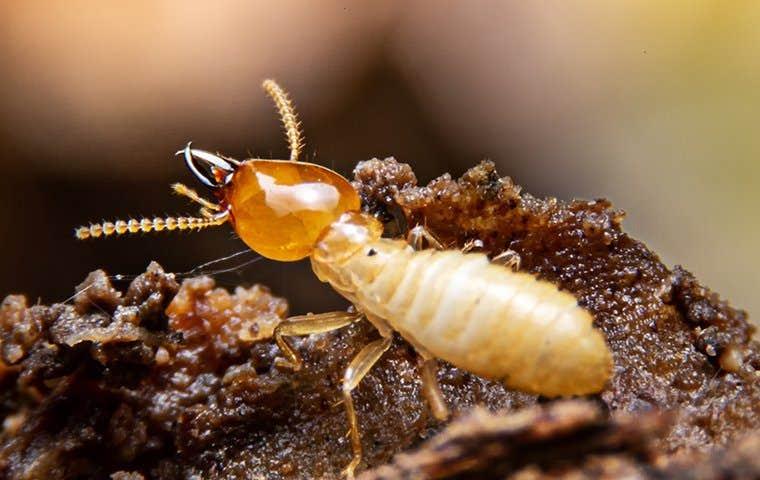 close up of a termite in honolulu