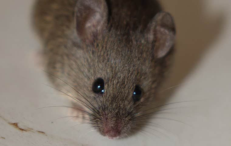 close up view of a house mouse in a bathroom
