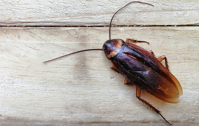 an american cockroach crawling on a table in oahu
