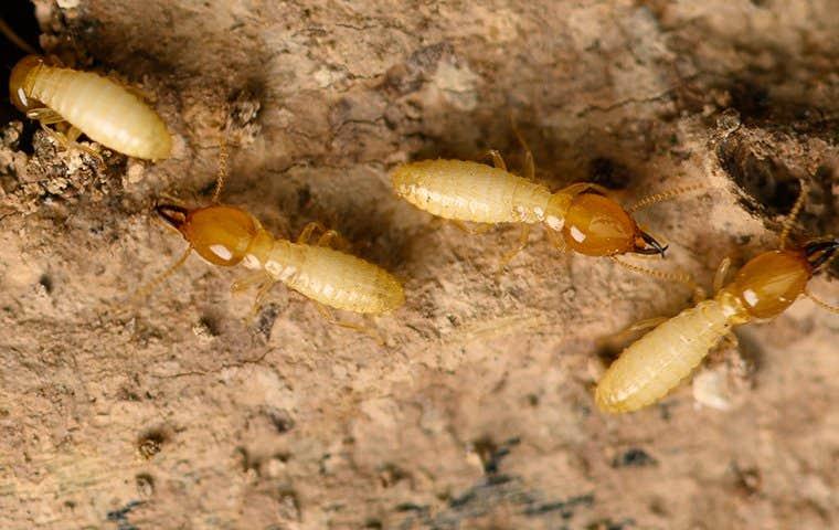 termites on a rough board
