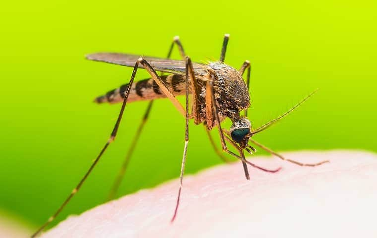 close up view of a mosquito biting a persons hand