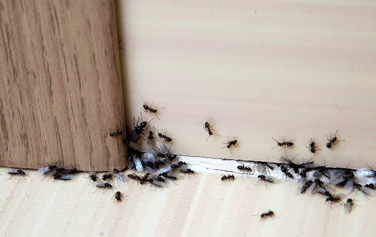 ants swarming in a house