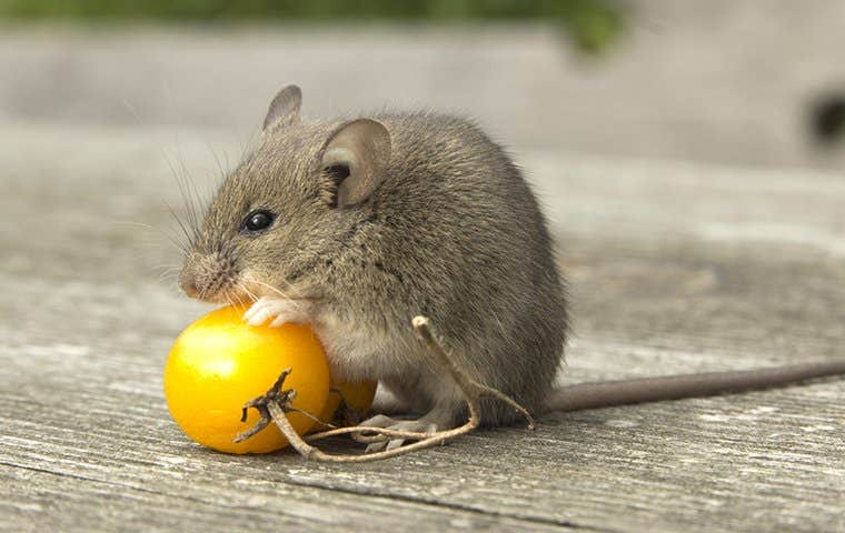 little mouse eating a tomato